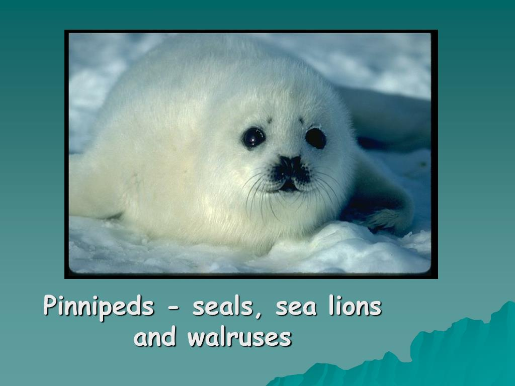 Pinnipeds - seals, sea lions and walruses