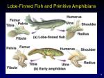 lobe finned fish and primitive amphibians
