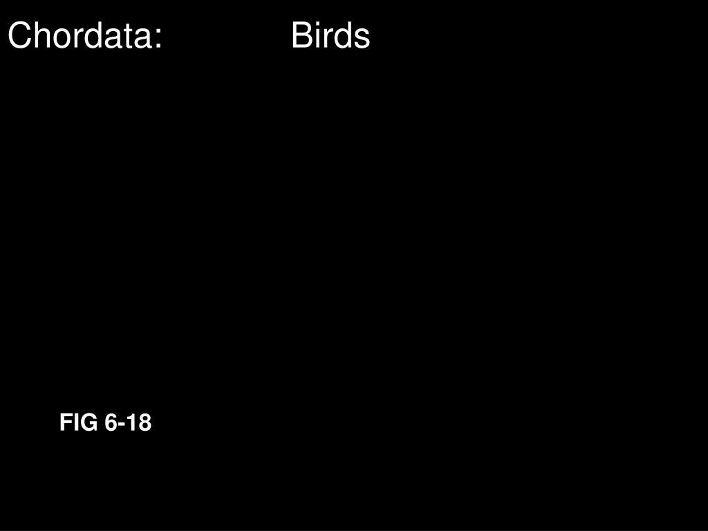 Chordata:Birds
