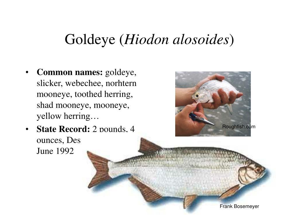 Goldeye (