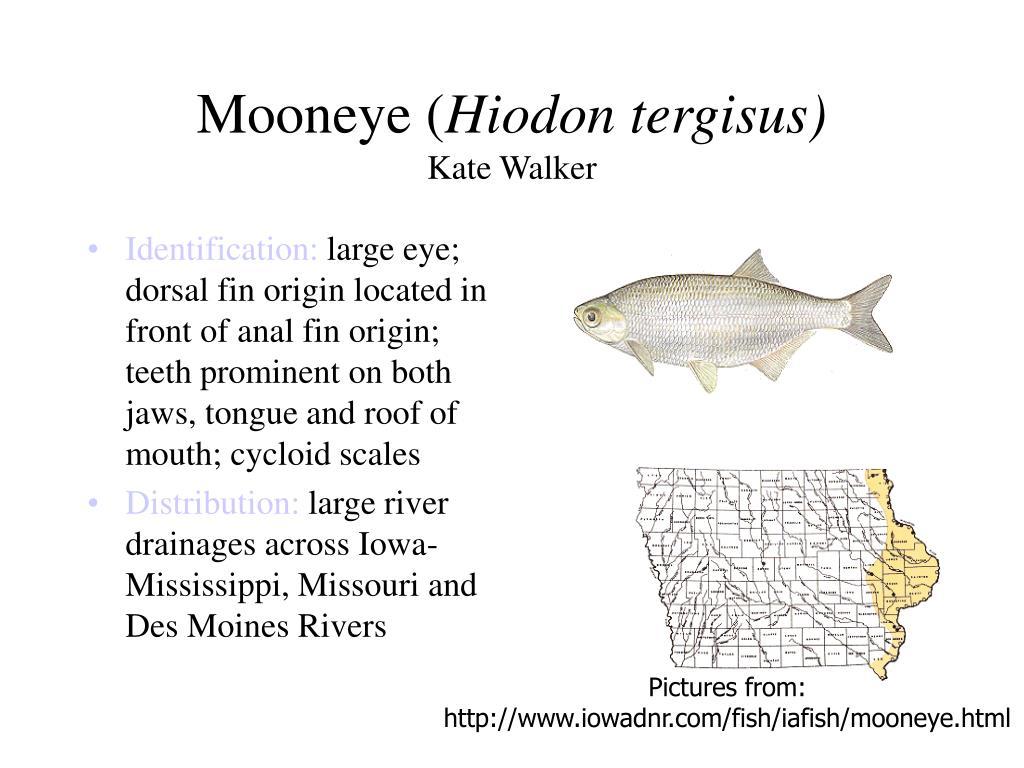 Mooneye (