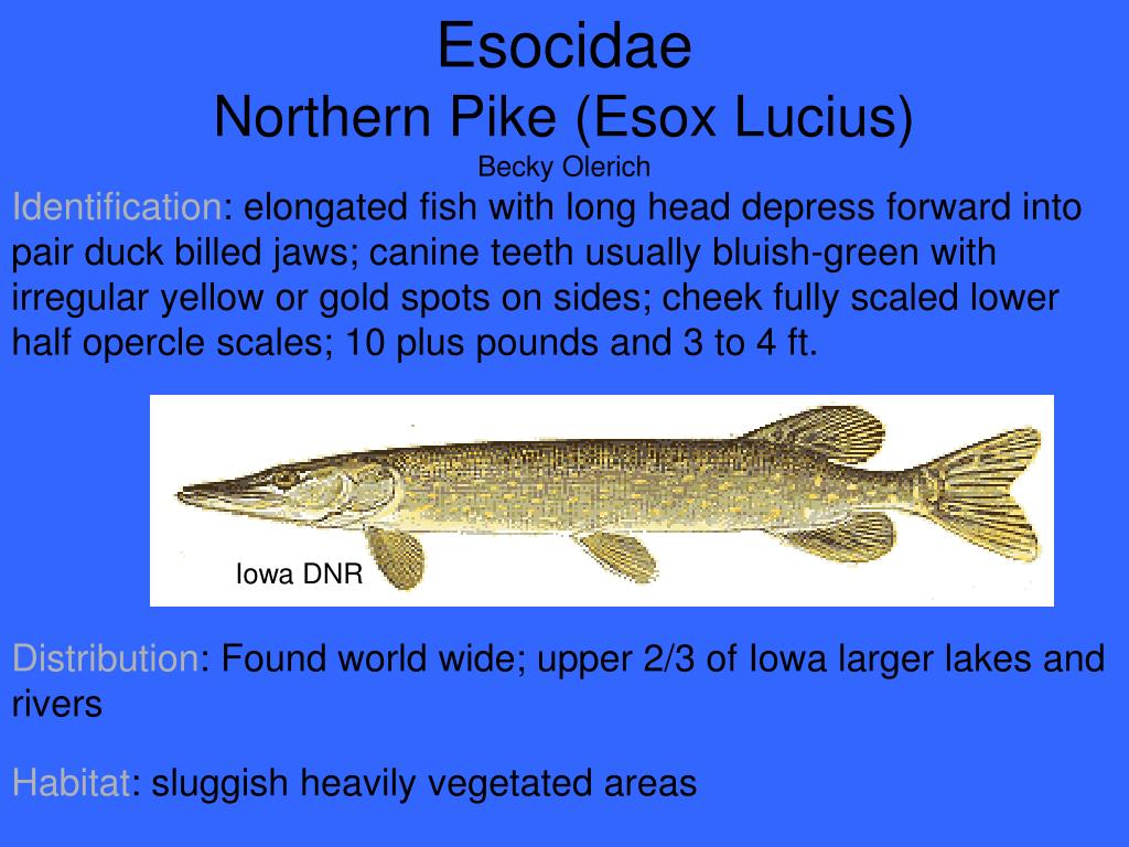 Esocidae