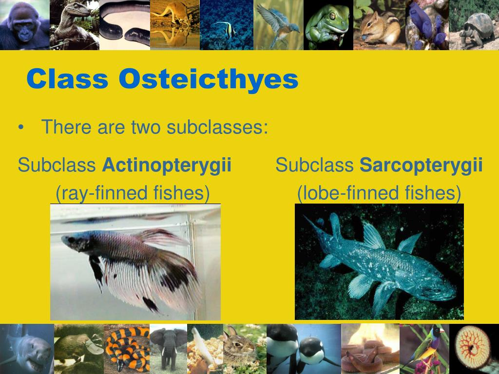 Class Osteicthyes
