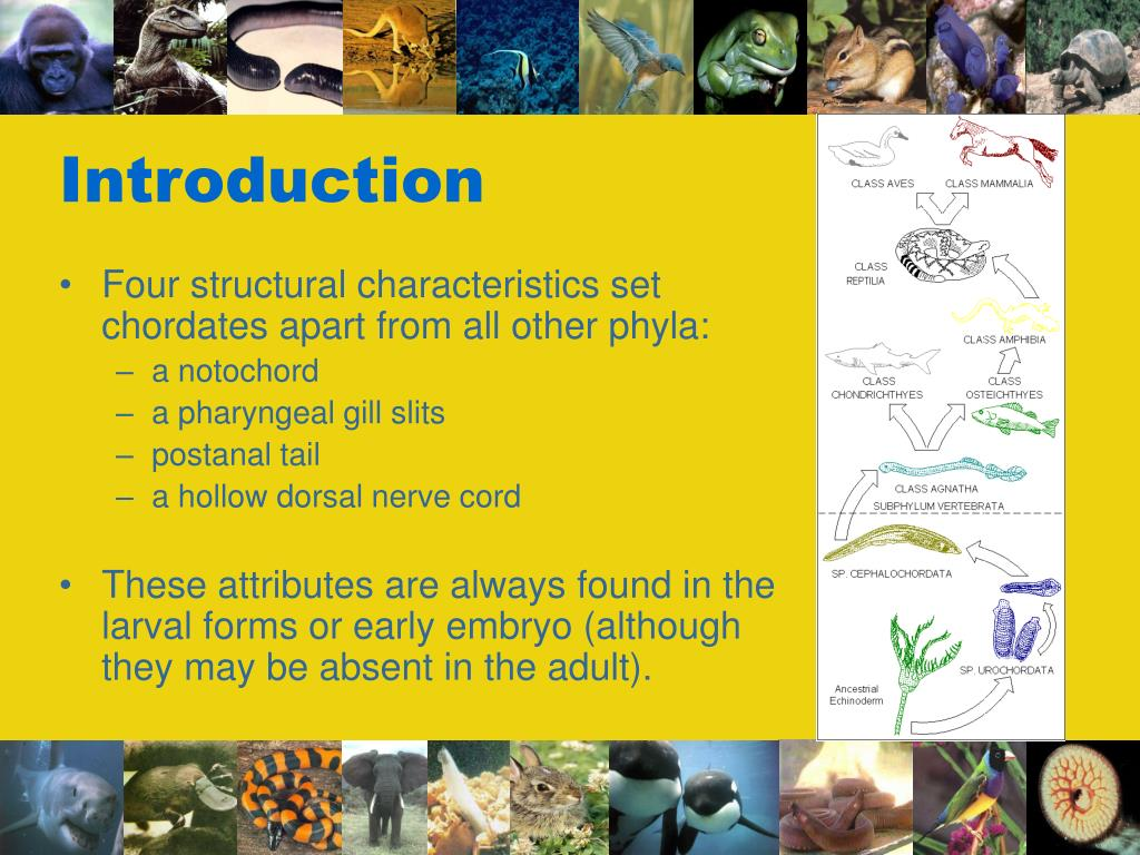 Four structural characteristics set chordates apart from all other phyla: