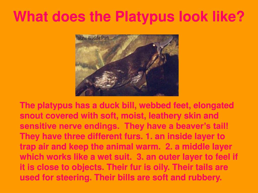 What does the Platypus look like?