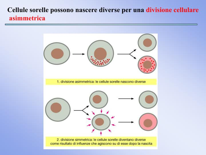 Cellule sorelle possono nascere diverse per una