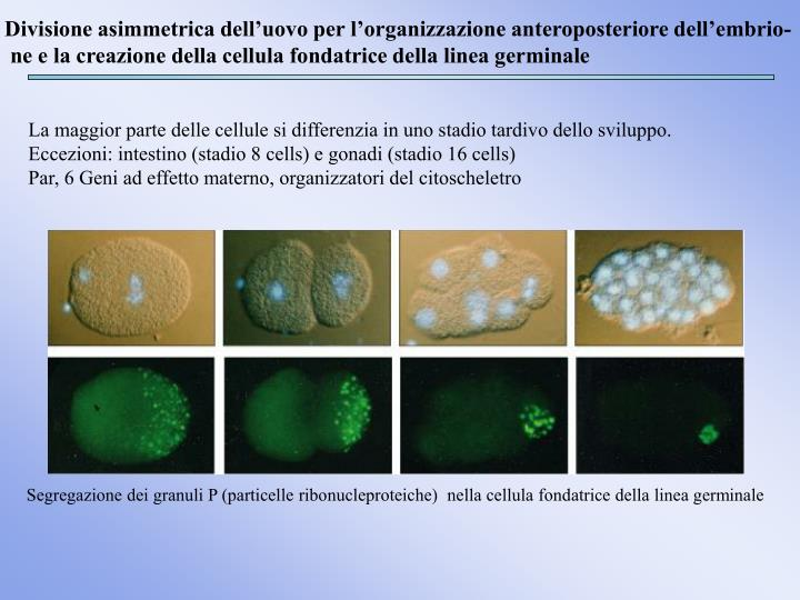 Divisione asimmetrica dell'uovo per l'organizzazione anteroposteriore dell'embrio-