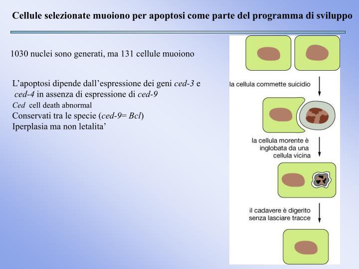 Cellule selezionate muoiono per apoptosi come parte del programma di sviluppo