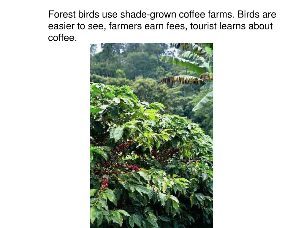 Forest birds use shade-grown coffee farms. Birds are easier to see, farmers earn fees, tourist learns about coffee.
