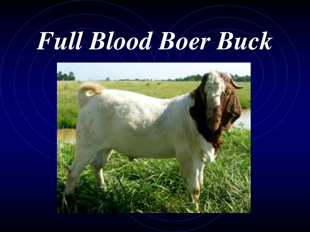Full Blood Boer Buck