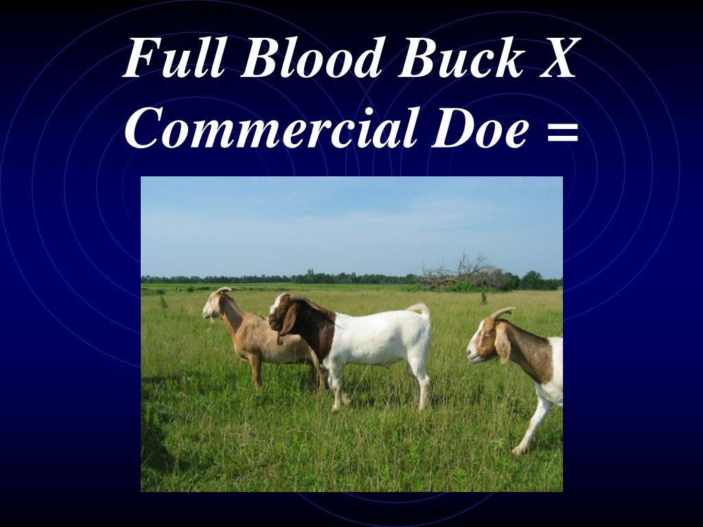 Full Blood Buck X Commercial Doe =