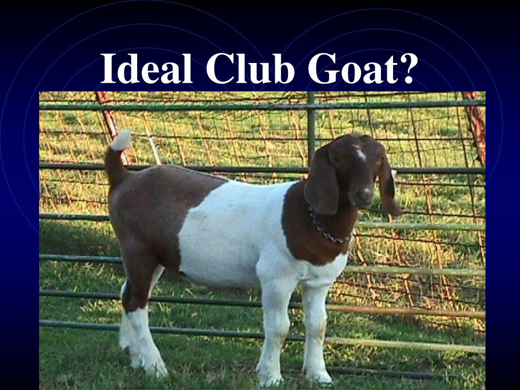 Ideal Club Goat?