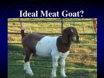 ideal meat goat