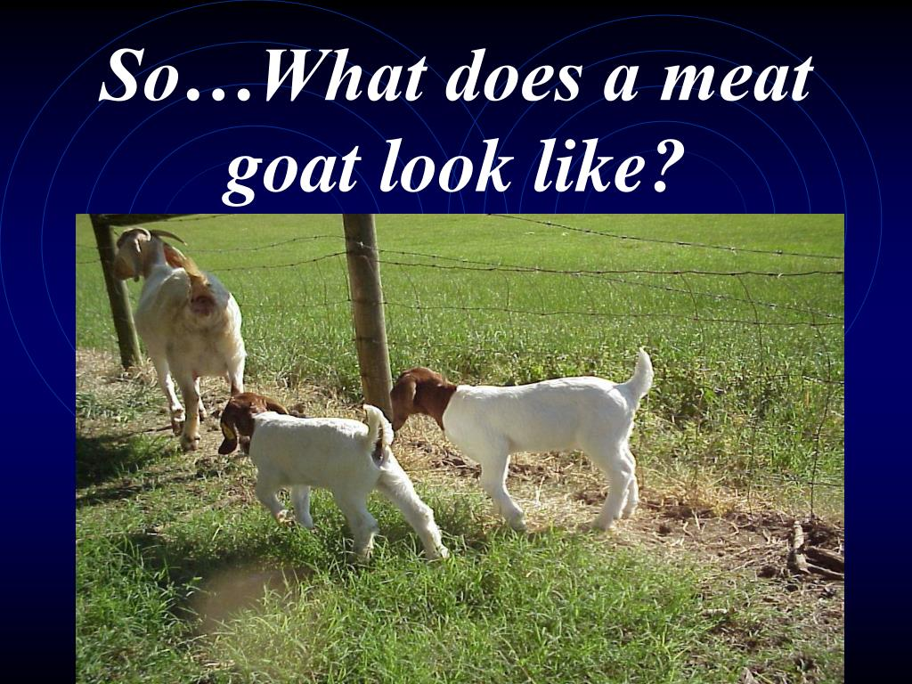 So…What does a meat goat look like?