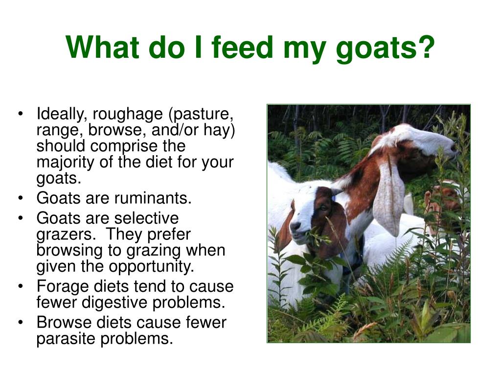 Ideally, roughage (pasture, range, browse, and/or hay) should comprise the majority of the diet for your goats.
