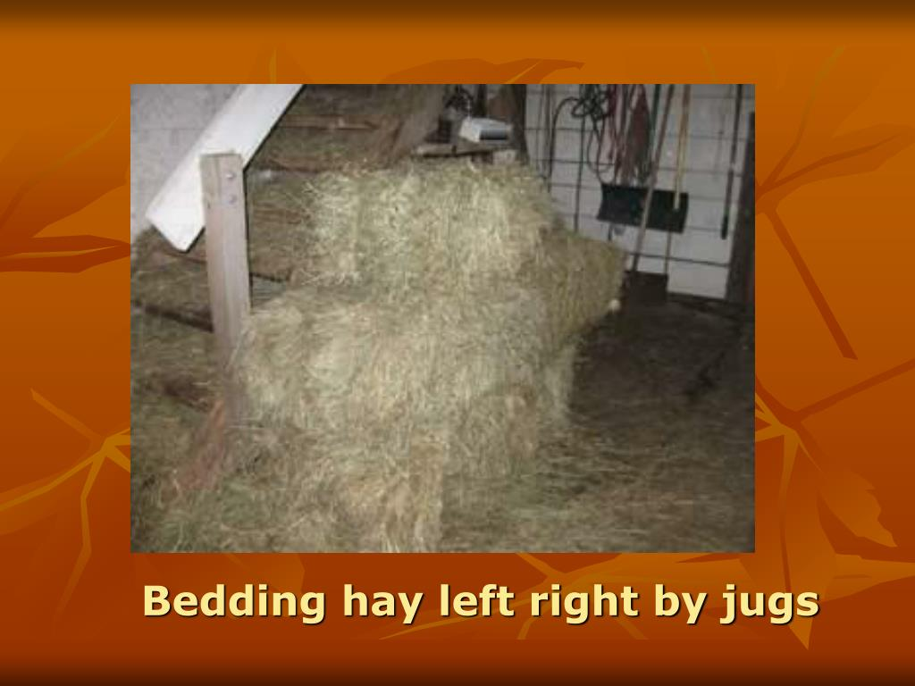 Bedding hay left right by jugs