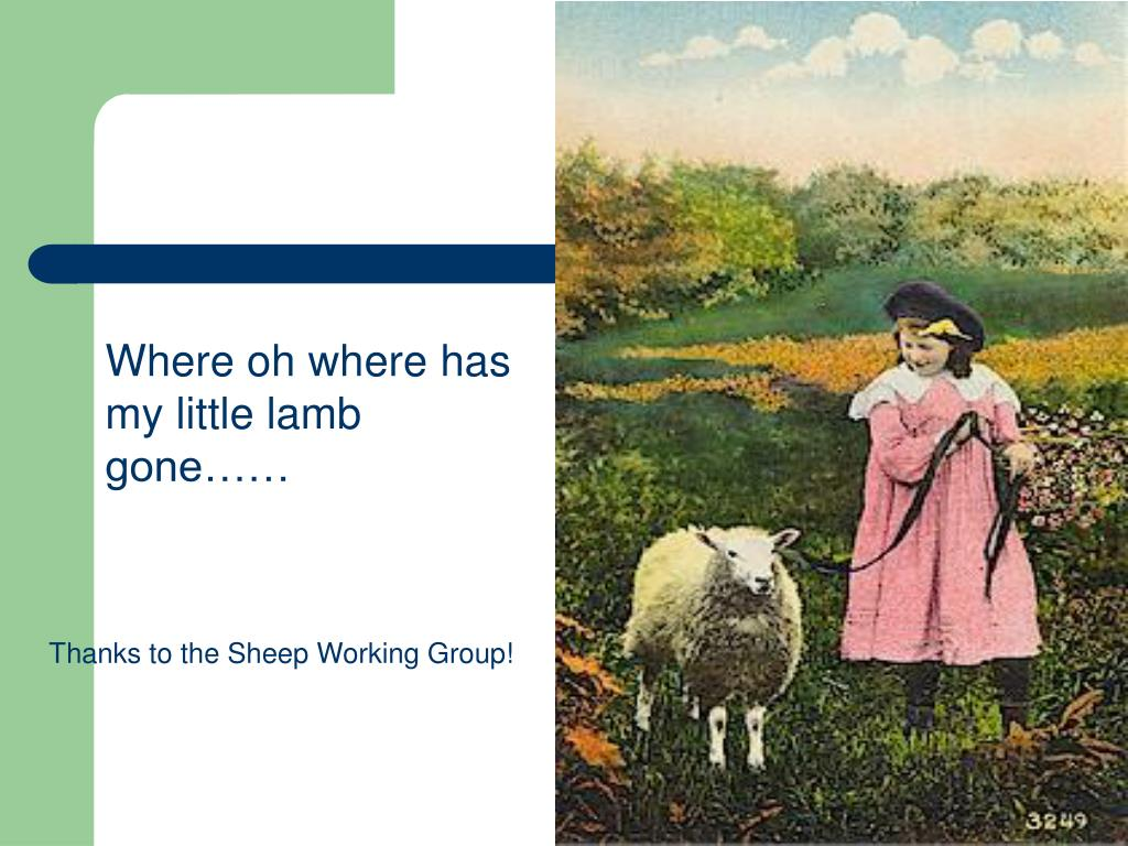 Where oh where has my little lamb gone……