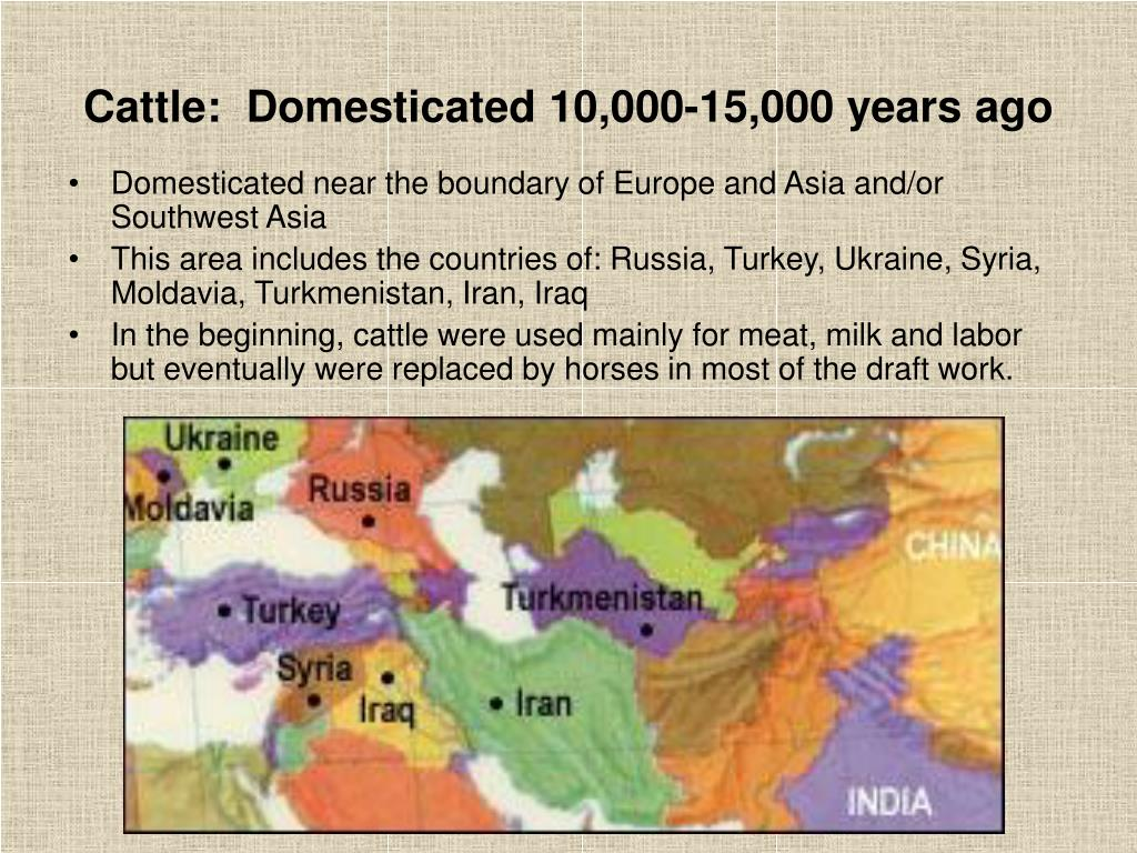Cattle:  Domesticated 10,000-15,000 years ago