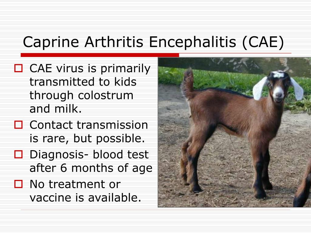 CAE virus is primarily transmitted to kids through colostrum and milk.