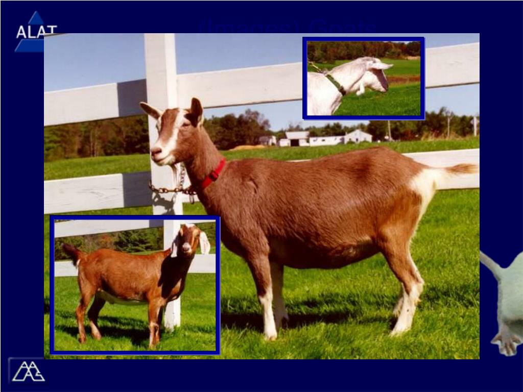 (Images) Goats