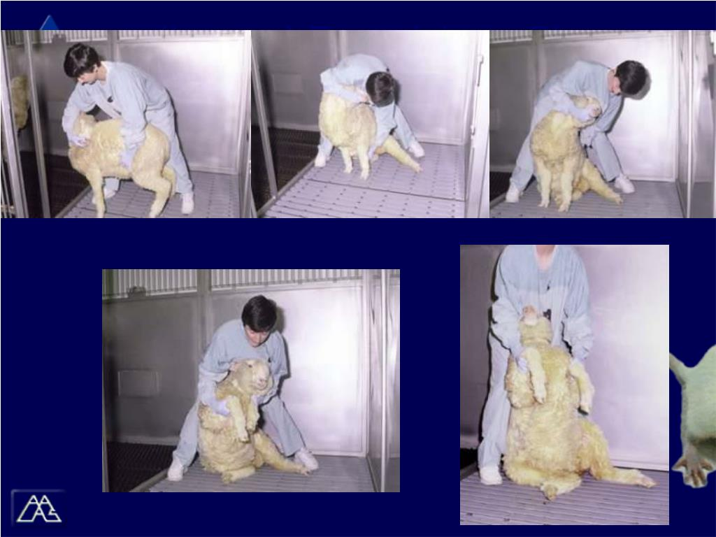 (Images) Restraining a Sheep