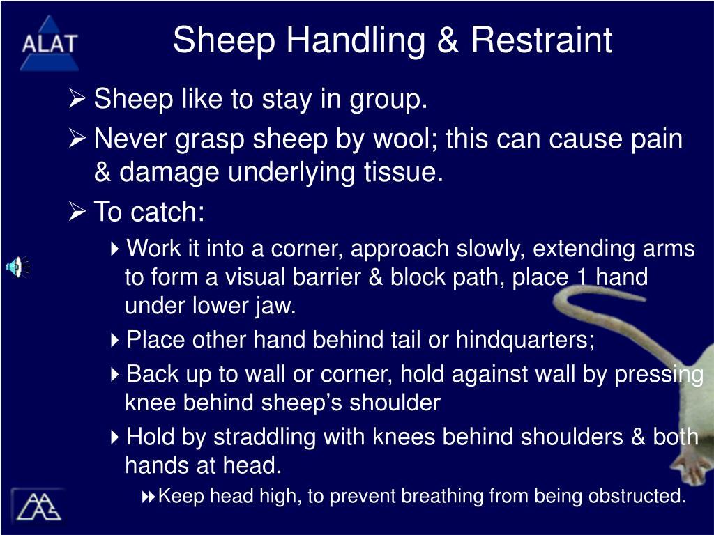 Sheep Handling & Restraint