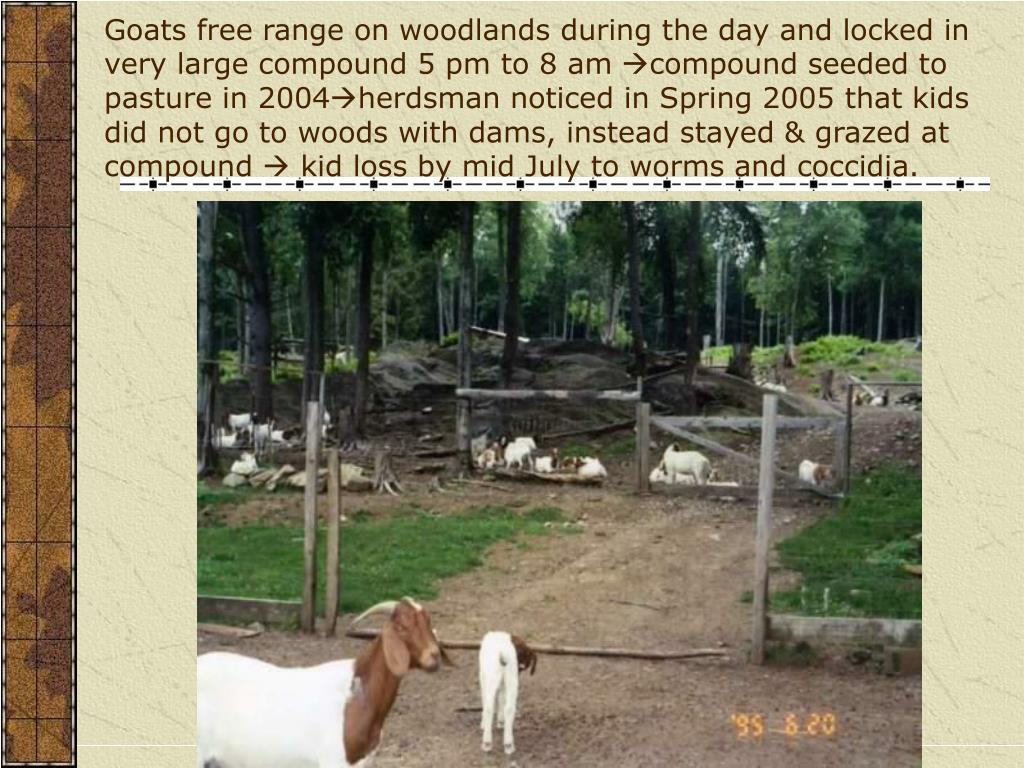 Goats free range on woodlands during the day and locked in very large compound 5 pm to 8 am