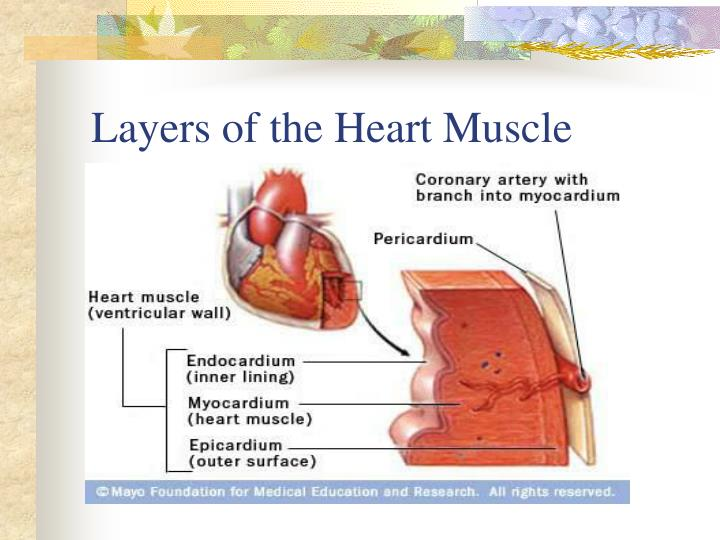 Layers of the heart muscle