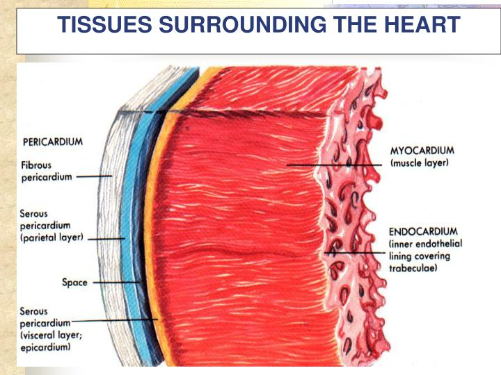 TISSUES SURROUNDING THE HEART