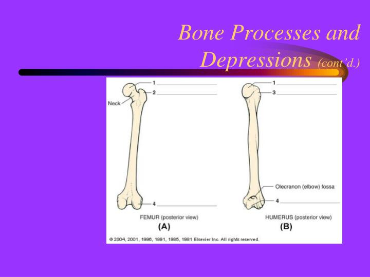Bone Processes and Depressions
