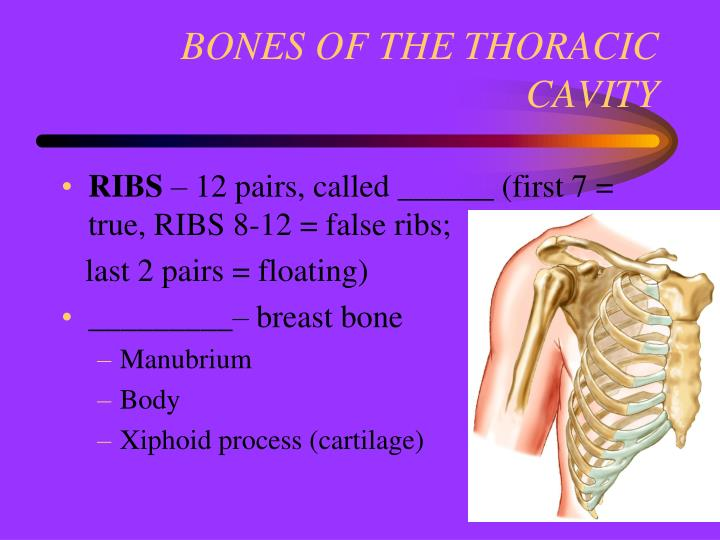 BONES OF THE THORACIC CAVITY