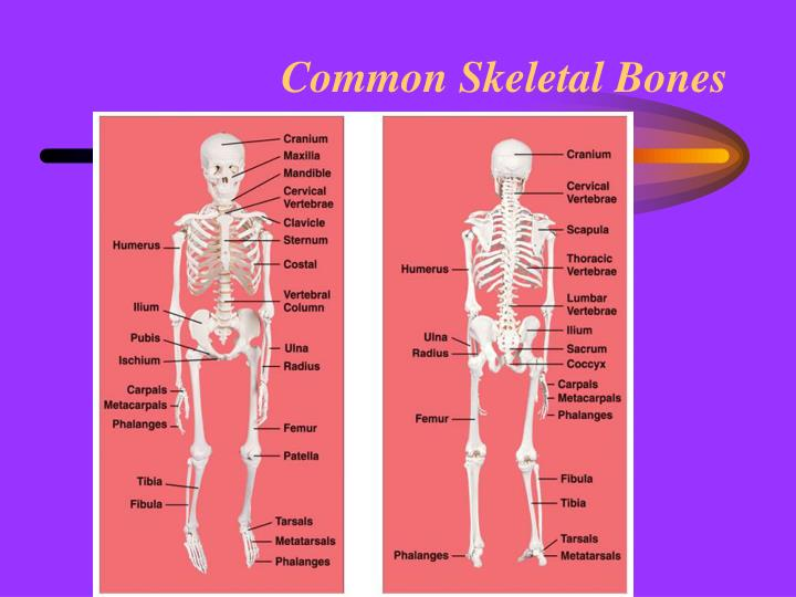 Common Skeletal Bones