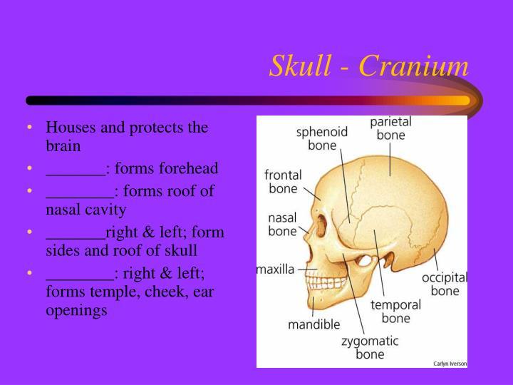 Skull - Cranium