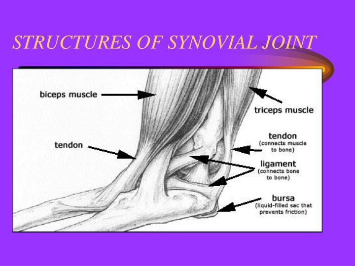 STRUCTURES OF SYNOVIAL JOINT