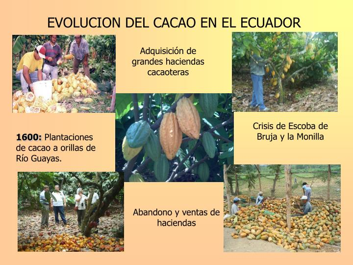 EVOLUCION DEL CACAO EN EL ECUADOR