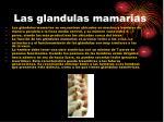 las glandulas mamarias