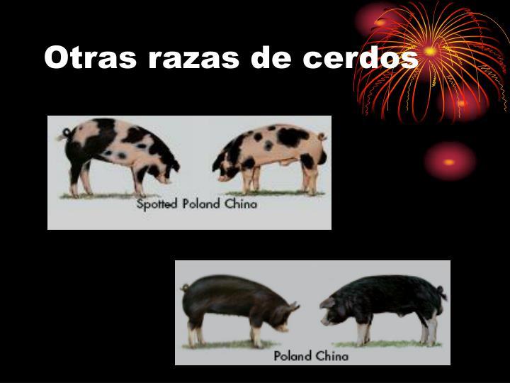 Otras razas de cerdos