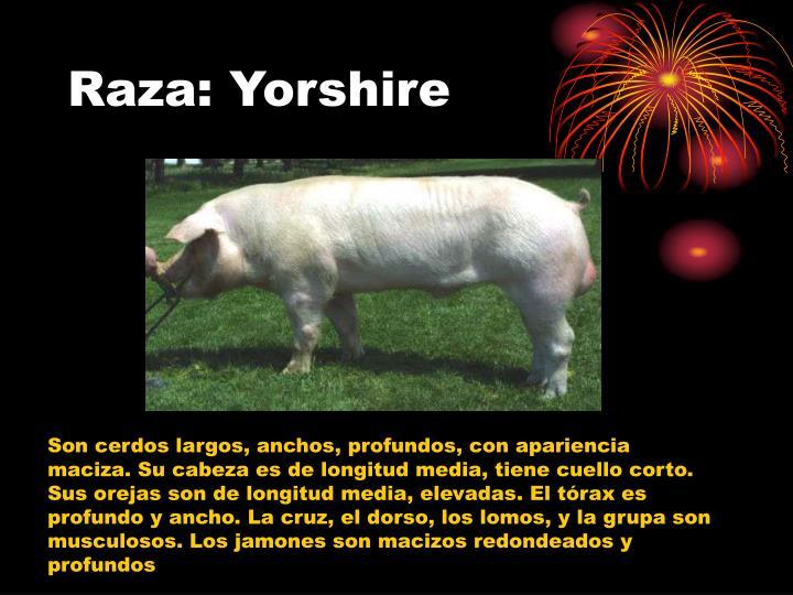 Raza: Yorshire