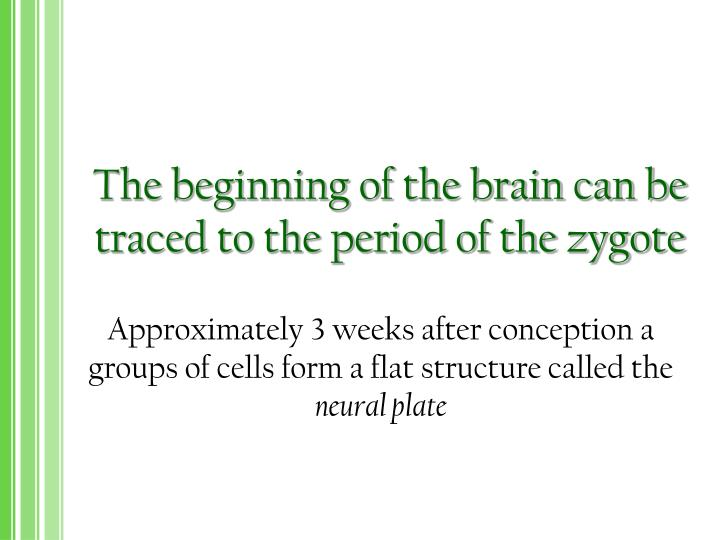 The beginning of the brain can be traced to the period of the zygote