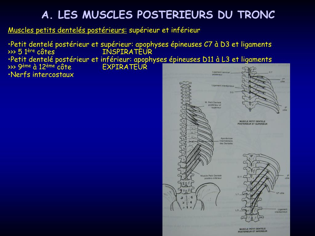 A. LES MUSCLES POSTERIEURS DU TRONC