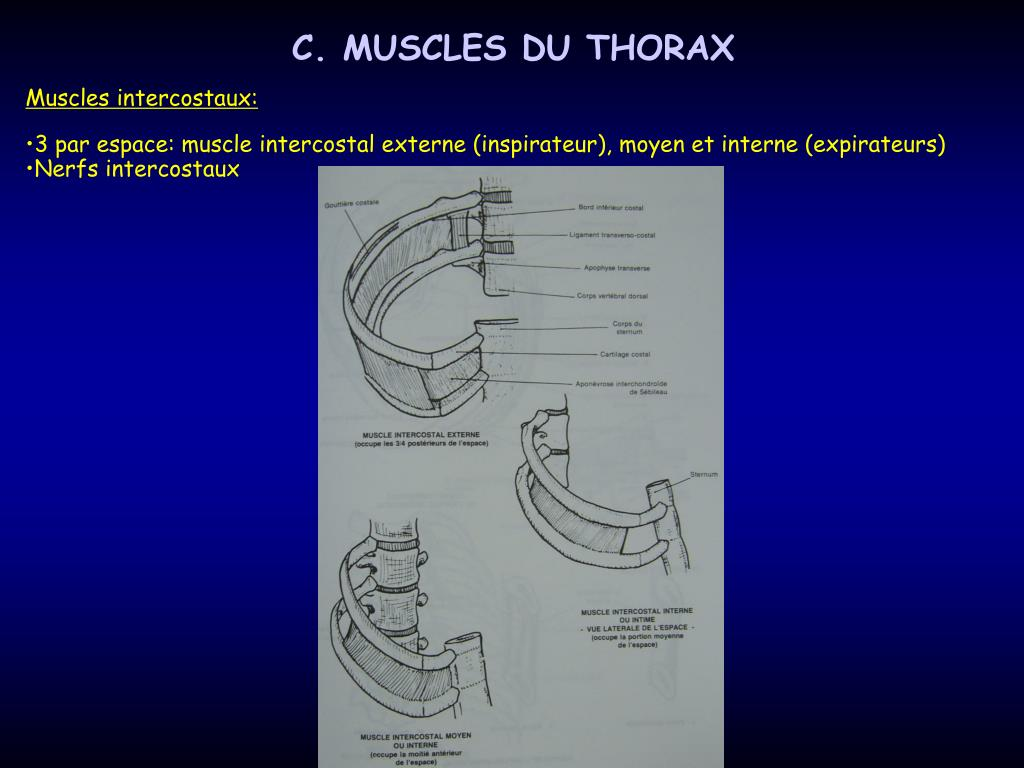C. MUSCLES DU THORAX