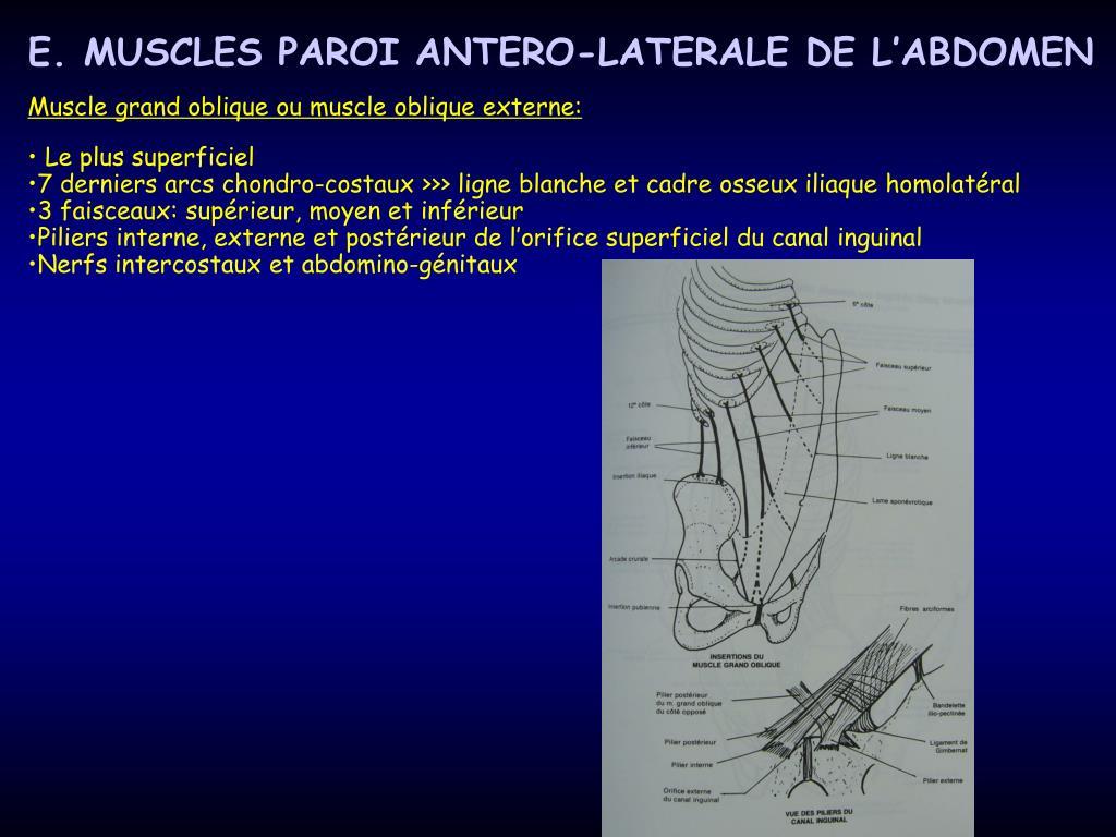 E. MUSCLES PAROI ANTERO-LATERALE DE L'ABDOMEN