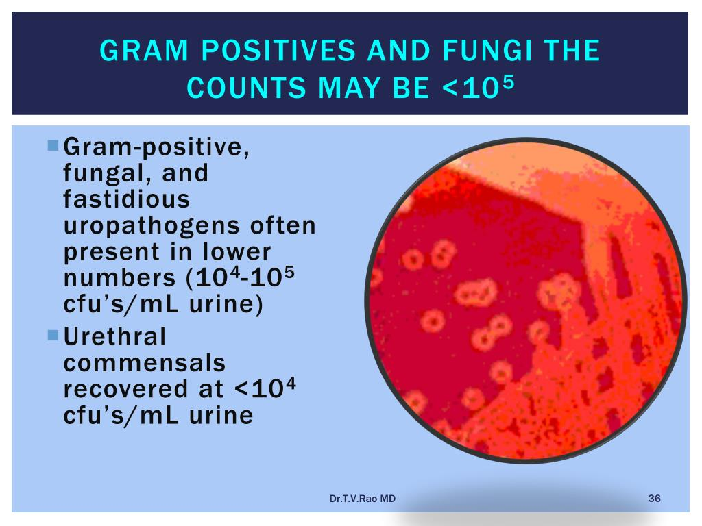 Gram positives and fungi the counts may be <10