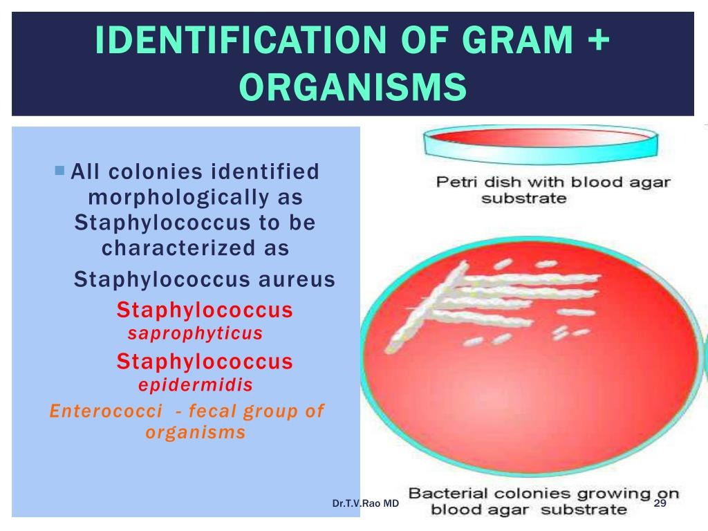 Identification of Gram + organisms