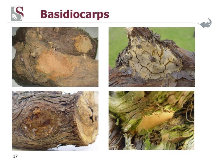 Basidiocarps