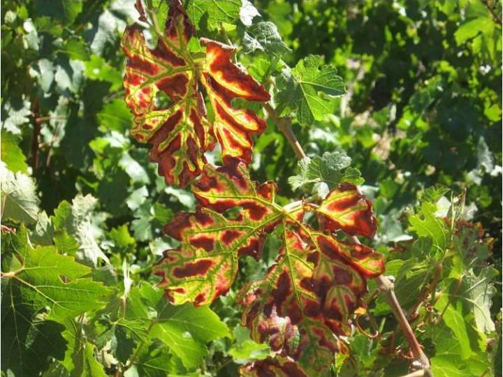 Symptoms: Leaves