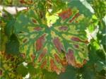 symptoms leaves1