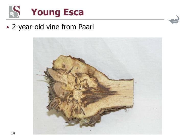 Young Esca