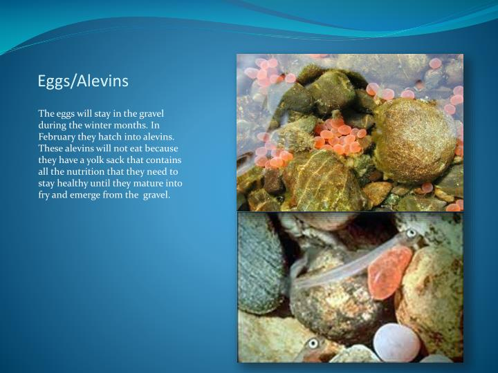 Eggs/Alevins