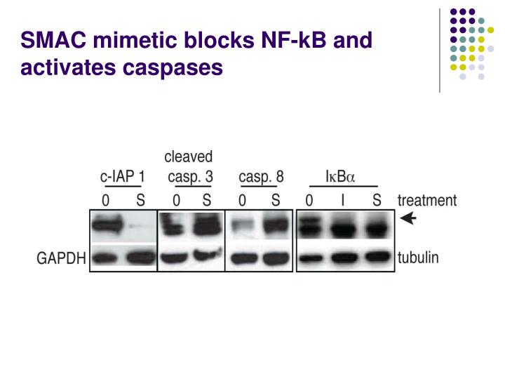 SMAC mimetic blocks NF-kB and activates caspases